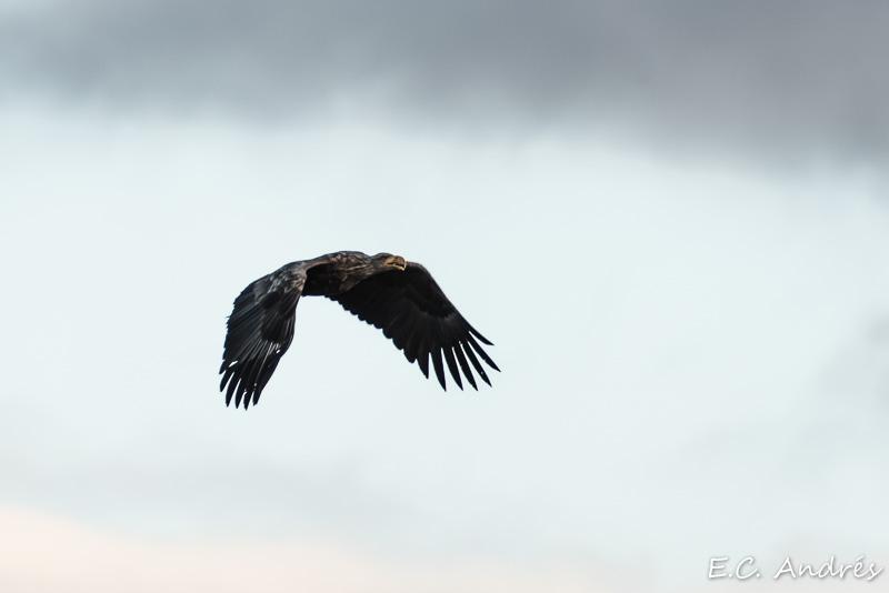 Águila marina de cola blanca