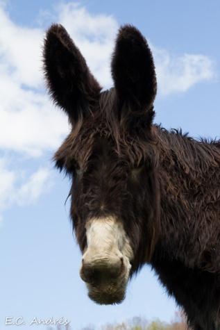 Burro catalán (Equus africanus asinus)