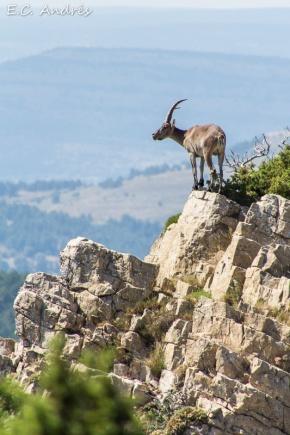 Cabra montés (Capra pyrenaica)
