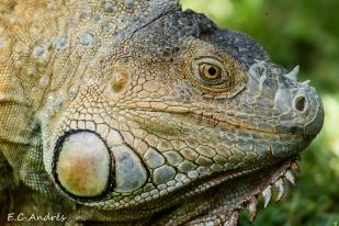 Iguan verde (Iguana iguana)