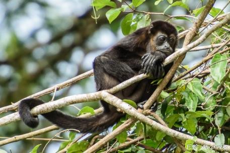 Mono negro aullador (Alouatta palliata)