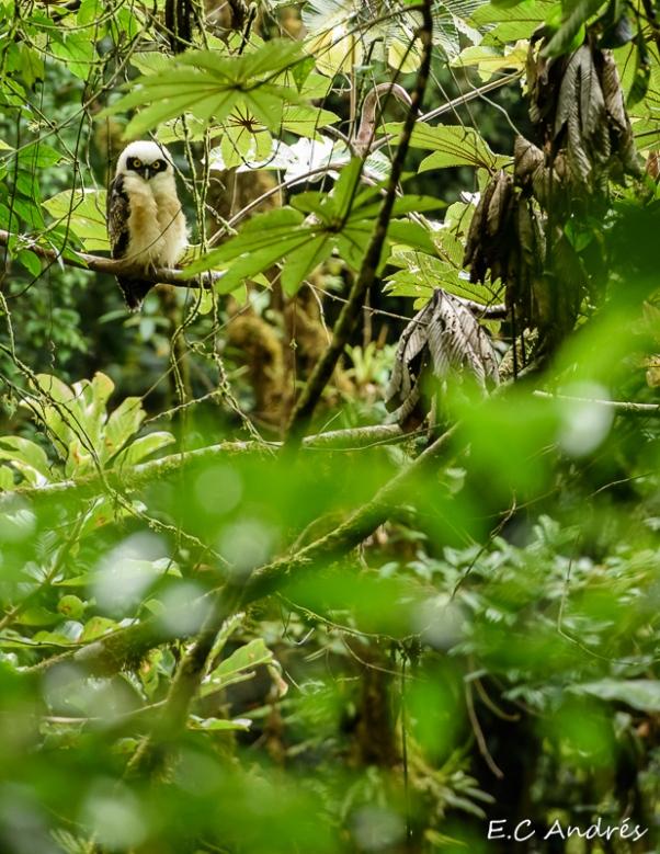Buho de anteojos joven (Pulsatrix perspicillata)