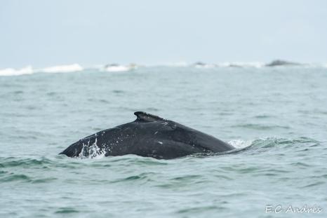 Cría de ballena jorobada (Magaptera novaeangliae)