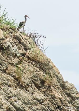 Ibis (Threskiornithinae)