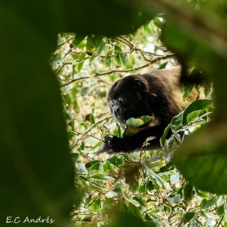Mono congo o aullador negro (Alouatta palliata)