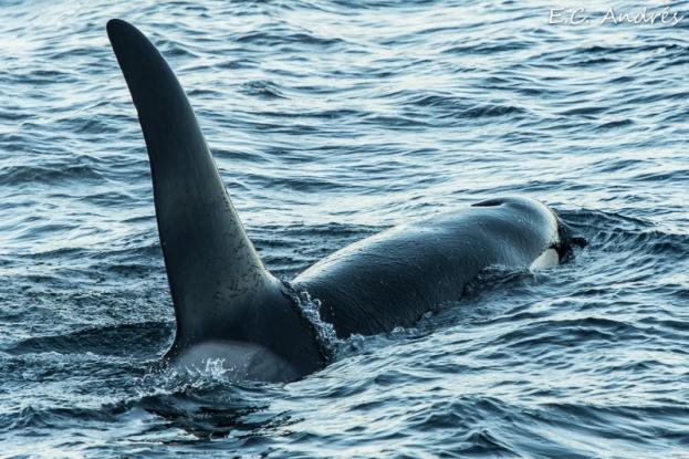 Orca - Orcinus orca