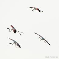 Flamenco rosado (Phoenicopterus)